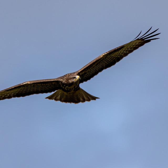 """Buzzard in flight looking around"" stock image"