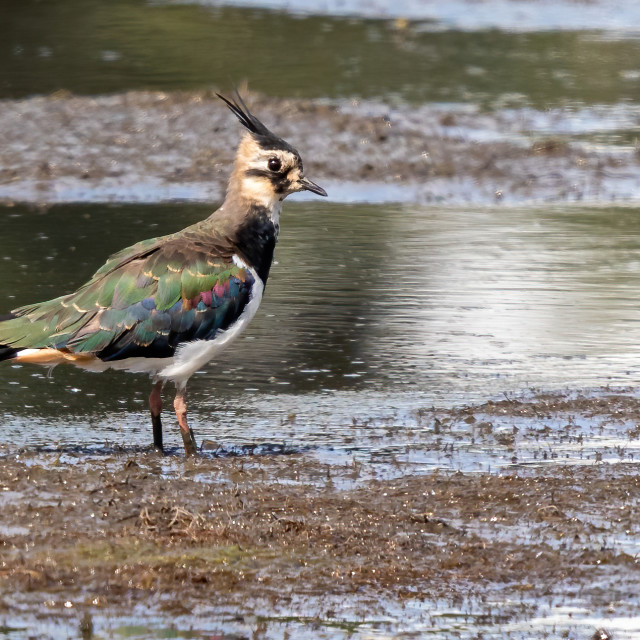 """""""Lapwings or Peewits looking for lunch"""" stock image"""
