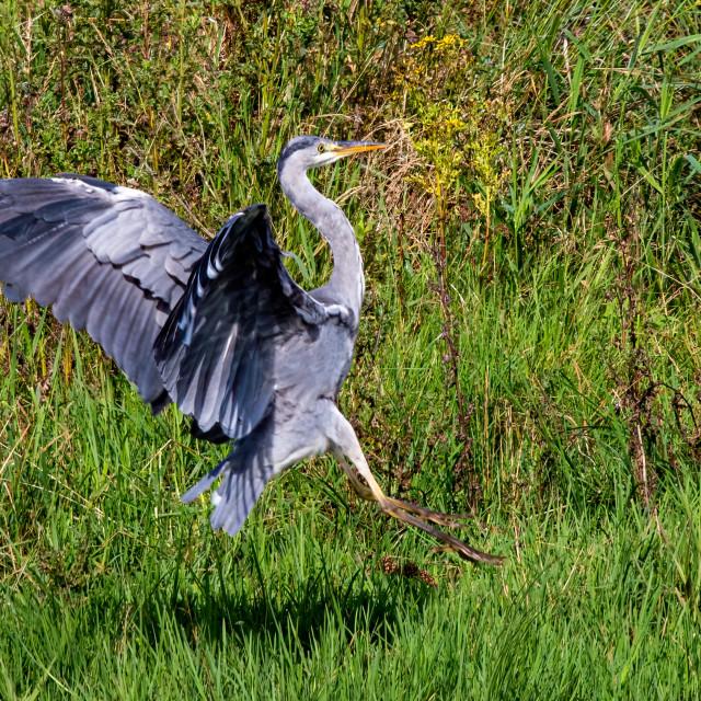 """Grey Heron on the hunt"" stock image"