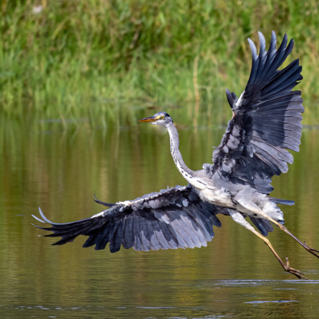 """""""Grey Heron on the hunt wings wide open"""" stock image"""