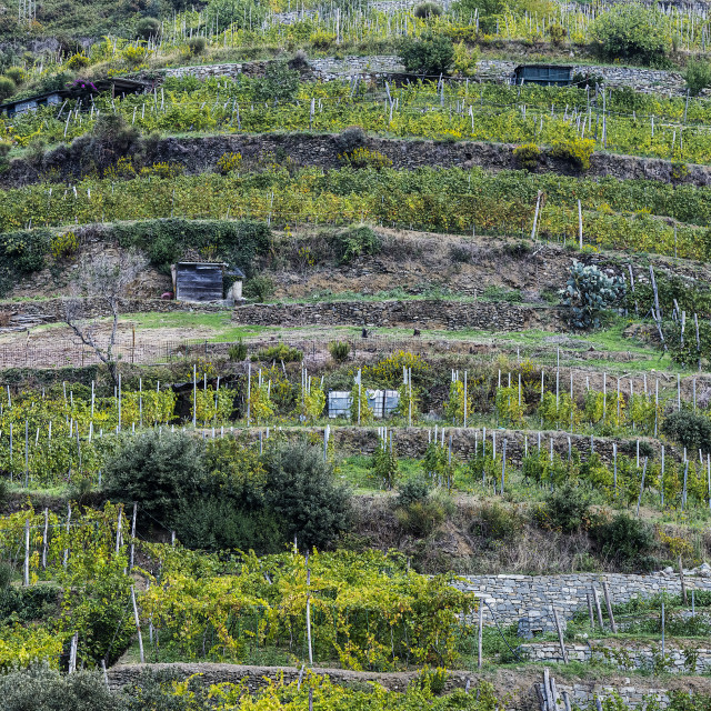 """Charming hillside vineyard near Monterosso al Mare"" stock image"