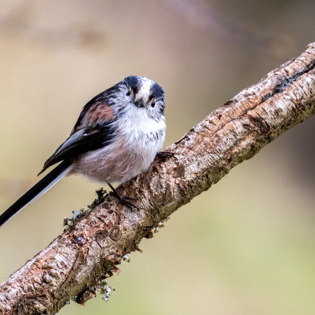 """""""Long Tailed Tits sitting on a perch"""" stock image"""