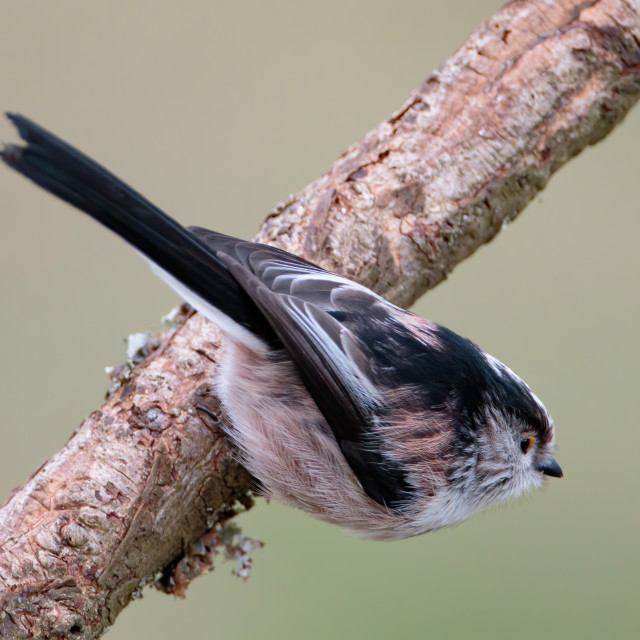 """""""Long Tailed Tit perched"""" stock image"""