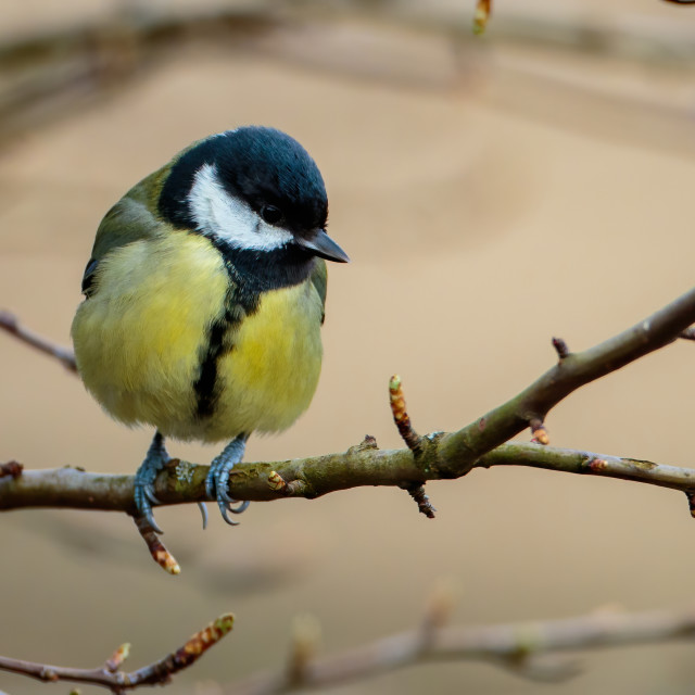 """""""Great Tit Perched"""" stock image"""