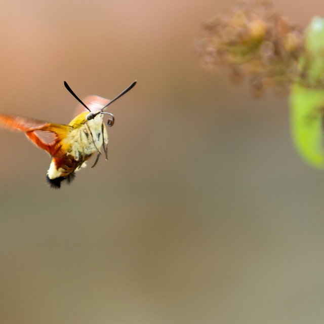"""Humming Bird Hawk Moth in flight"" stock image"