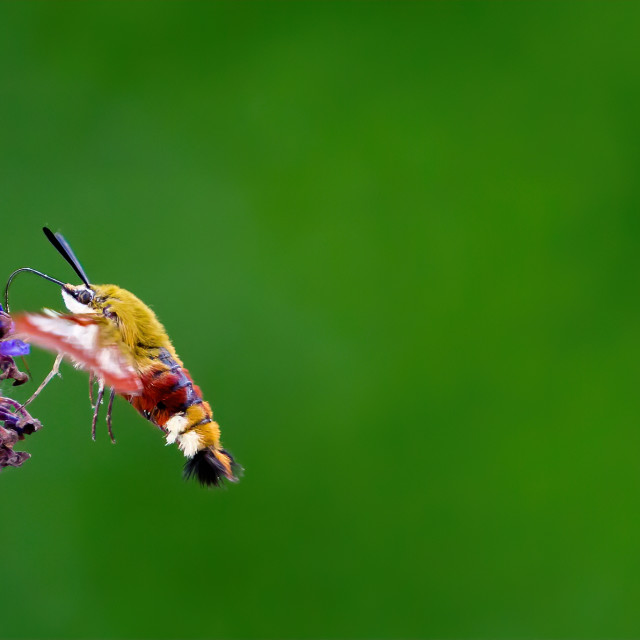 """Humming Bird Hawk Moth on the Budlea"" stock image"
