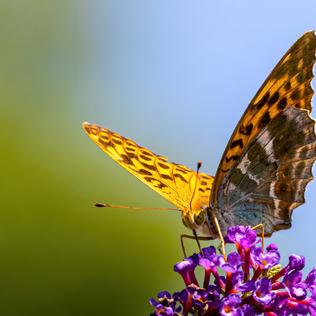 """Silver fritillary on the budlea"" stock image"