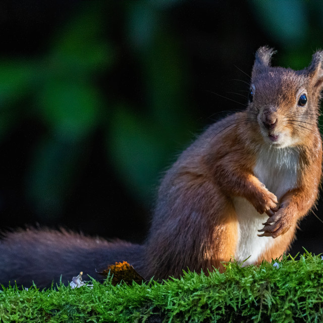 """""""Red Squirrel having Lunch"""" stock image"""