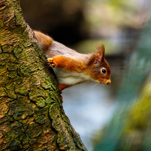 """""""Red Squirrel peeking from the tree"""" stock image"""