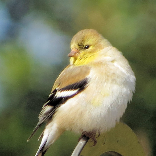 """""""American Goldfinch"""" stock image"""