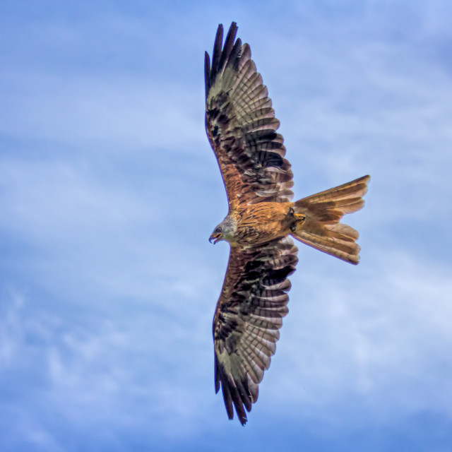 """Red Kite - Flying High"" stock image"
