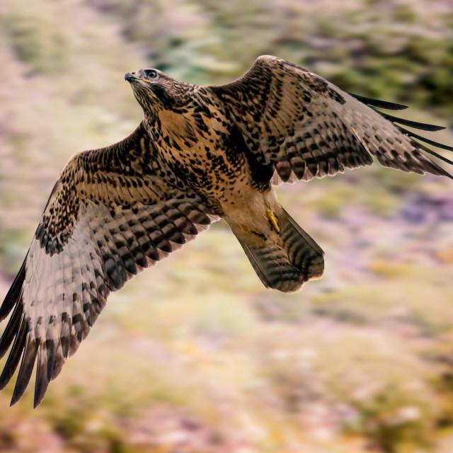 """Buzzard - Taking Flight"" stock image"
