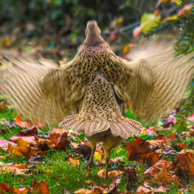 """Pheasant in a flap - Autumn English Garden"" stock image"