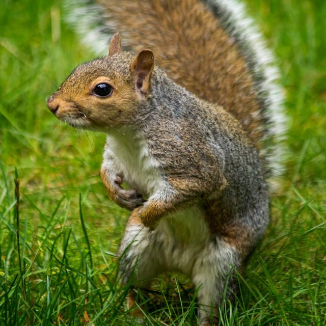 """""""Grey Squirrel - Comes to say hello"""" stock image"""