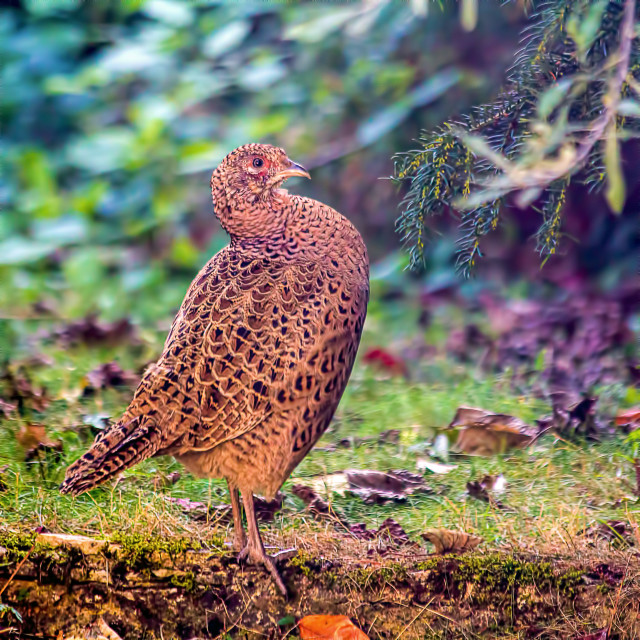 """Proud Pheasant - Standing guard"" stock image"