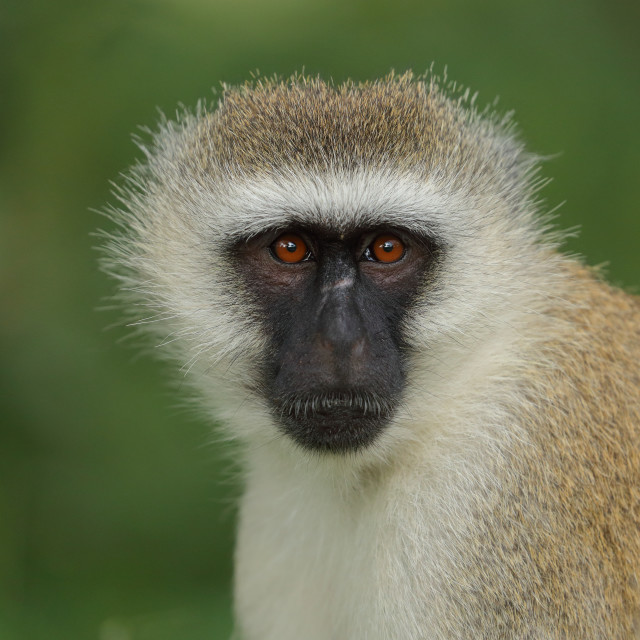 """The vervet monkey"" stock image"
