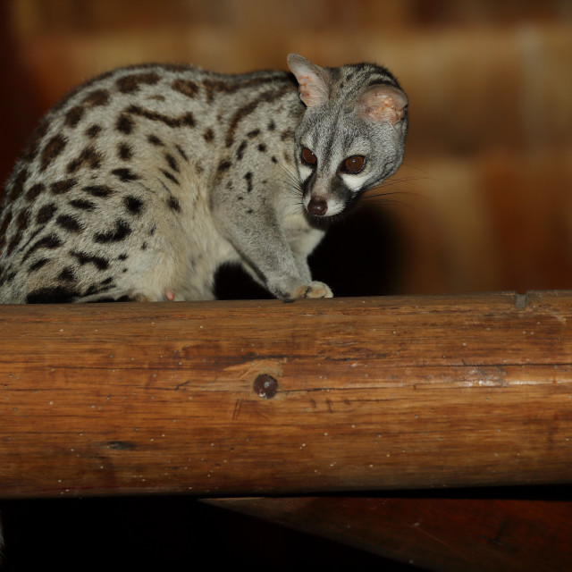 """A genet on a beam"" stock image"