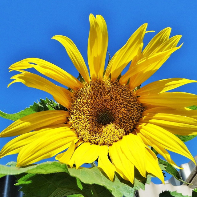 """sunny sunflower"" stock image"