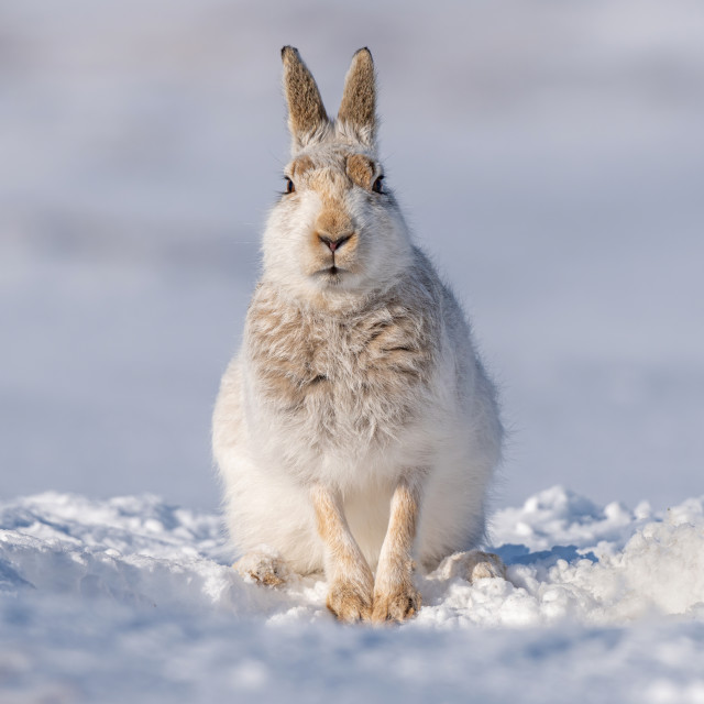 """Posing Mountain Hare"" stock image"