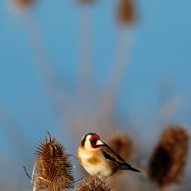 """""""Goldfinch on the teasels taking the seeds"""" stock image"""