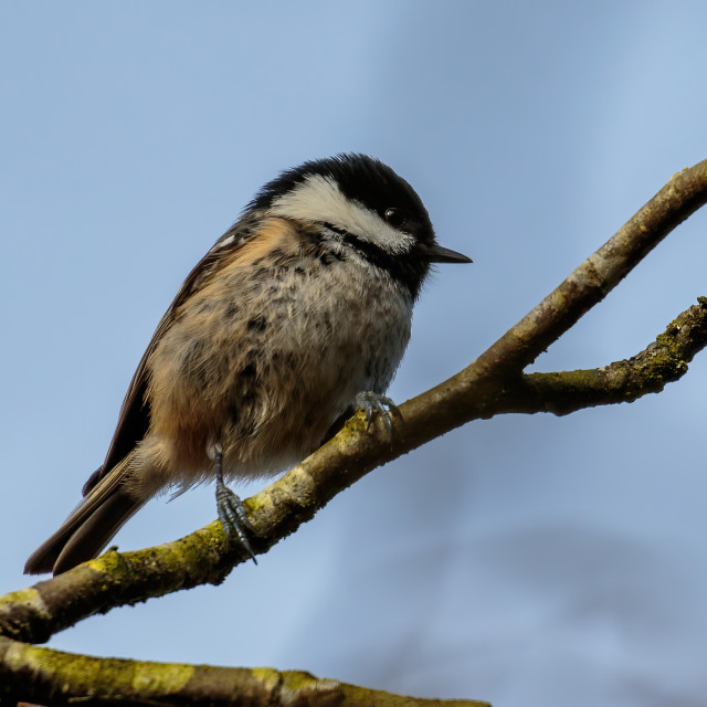 """""""Coal tit on the branch"""" stock image"""