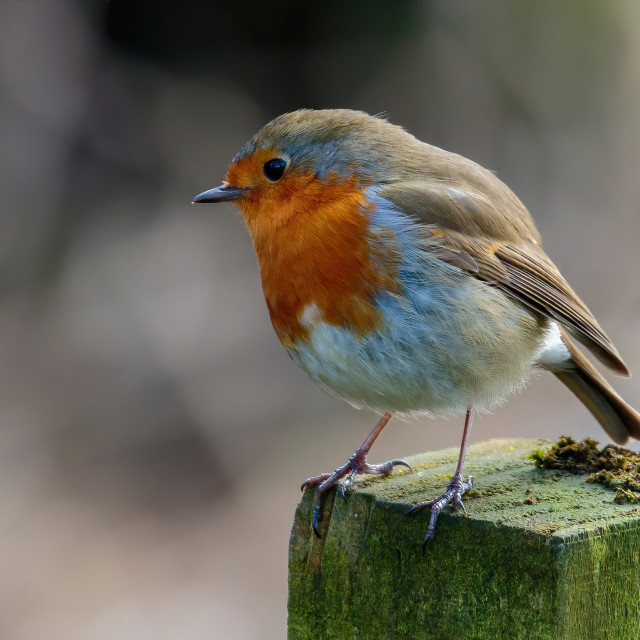 """""""Robin perched on the fence post"""" stock image"""