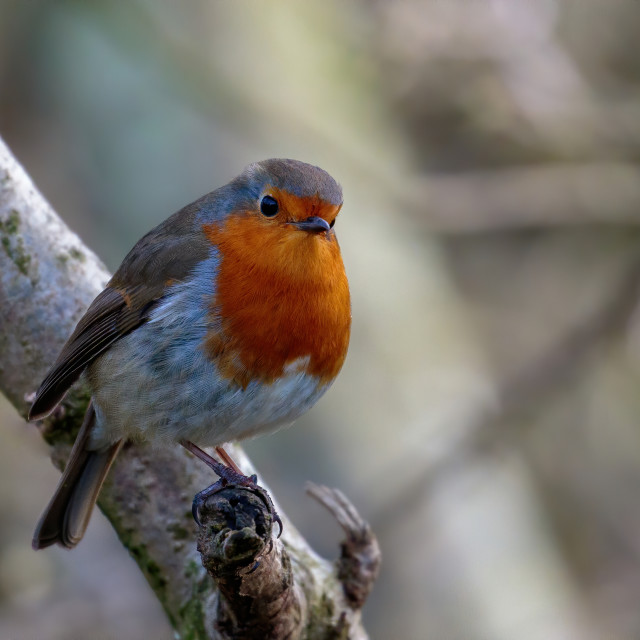 """""""Robin perched on the branch"""" stock image"""