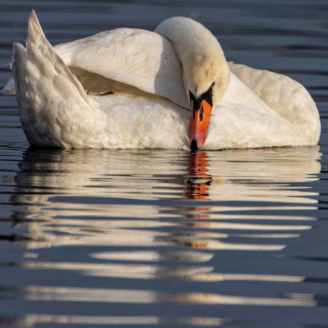 """Mute Swan Reflection"" stock image"