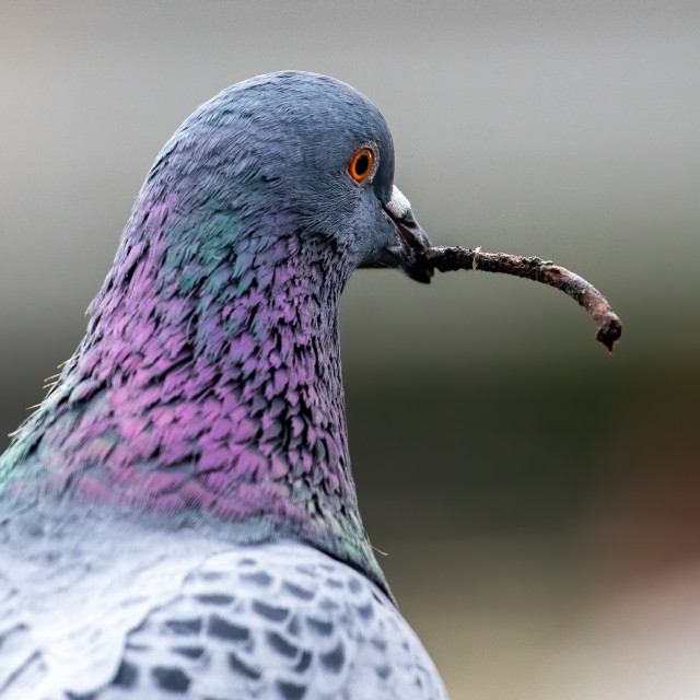 """""""Pigeon gather nesting material a twig"""" stock image"""