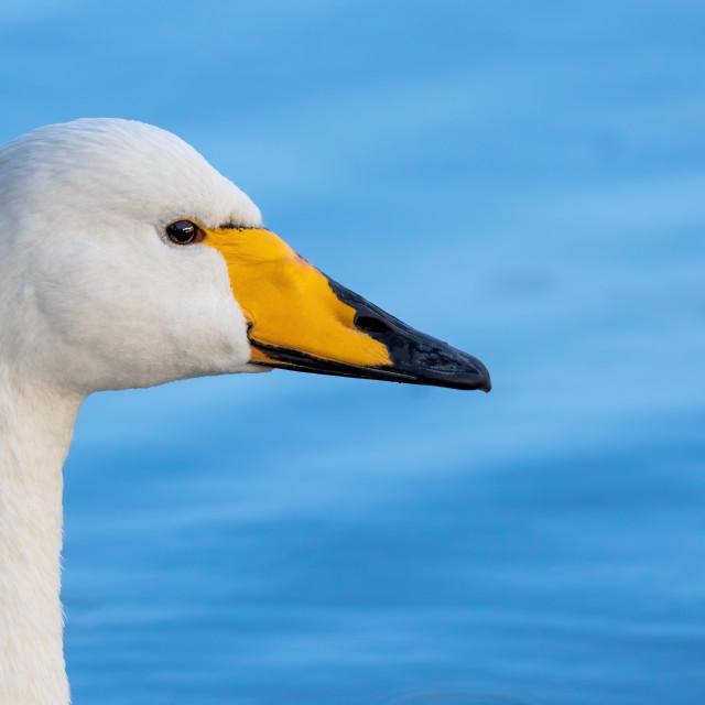 """""""Hooper Swan looking sideways"""" stock image"""