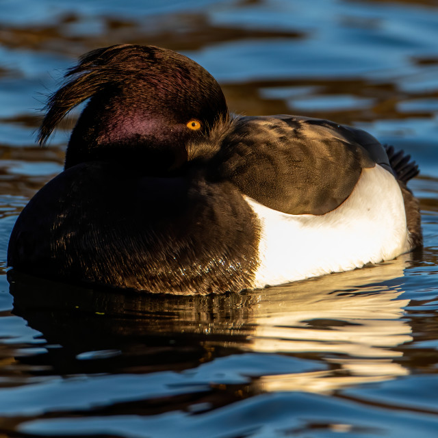 """""""Male Tufted duck taking a snooze"""" stock image"""