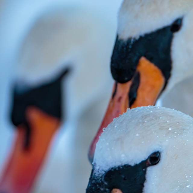 """""""Three mute swans in a row"""" stock image"""
