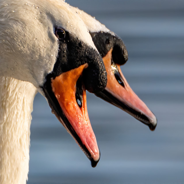 """""""Two Mute Swan staying close"""" stock image"""