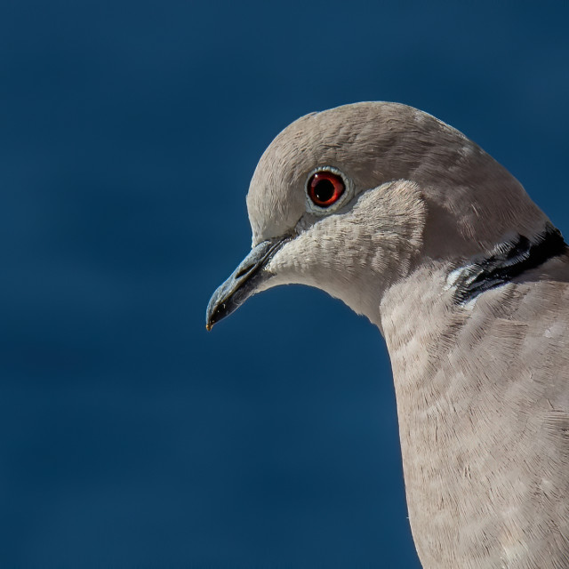 """""""Collared Dove on the balcony"""" stock image"""