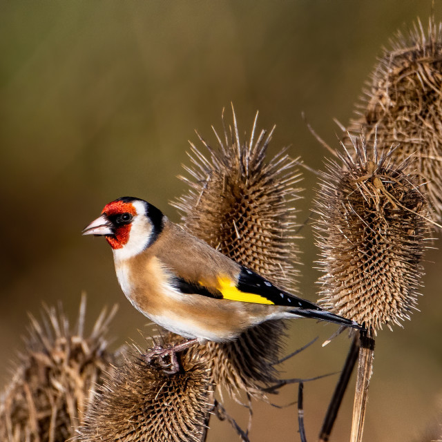 """""""Goldfinch on the Teasels eating seed"""" stock image"""