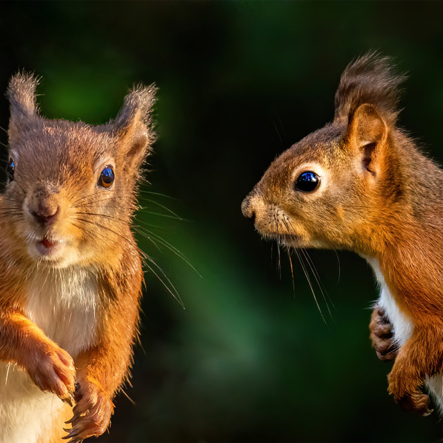 """""""Two red squirrels having a chat"""" stock image"""