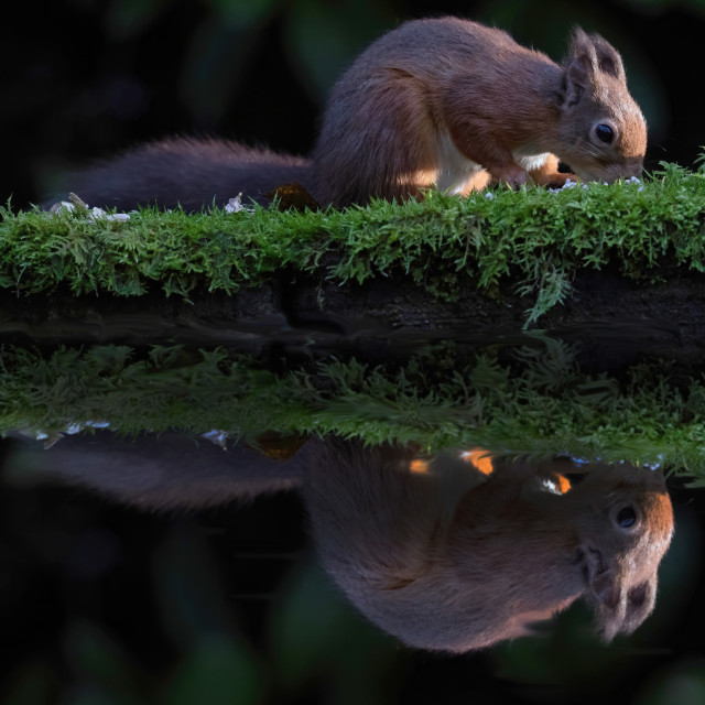 """""""Red Squirrel reflection"""" stock image"""