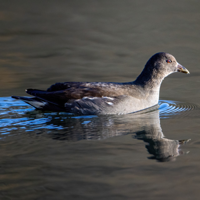 """Female moorhen"" stock image"