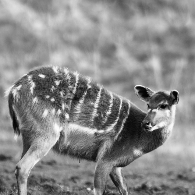 """Sitatunga (Antelope)"" stock image"