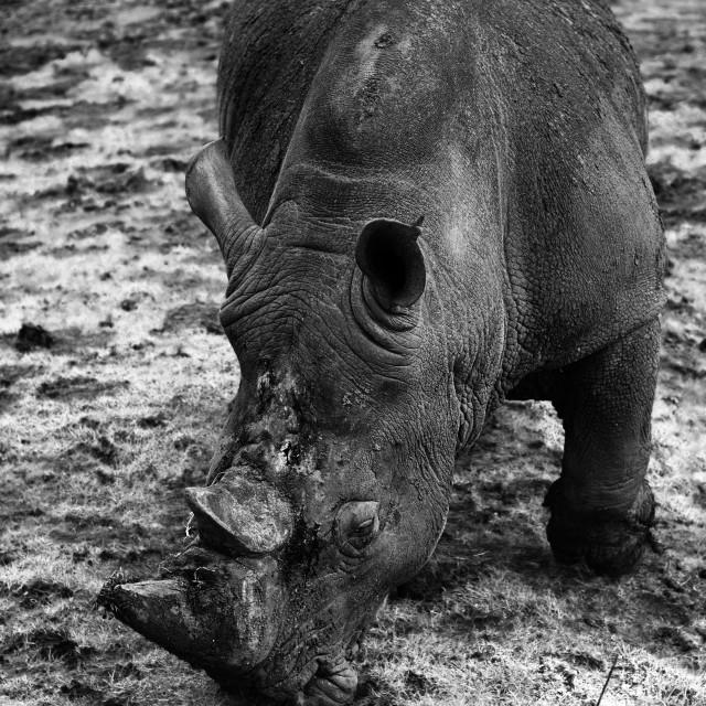 """""""White Rhino"""" stock image"""