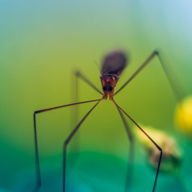 """Macro of a mosquito hawk"" stock image"