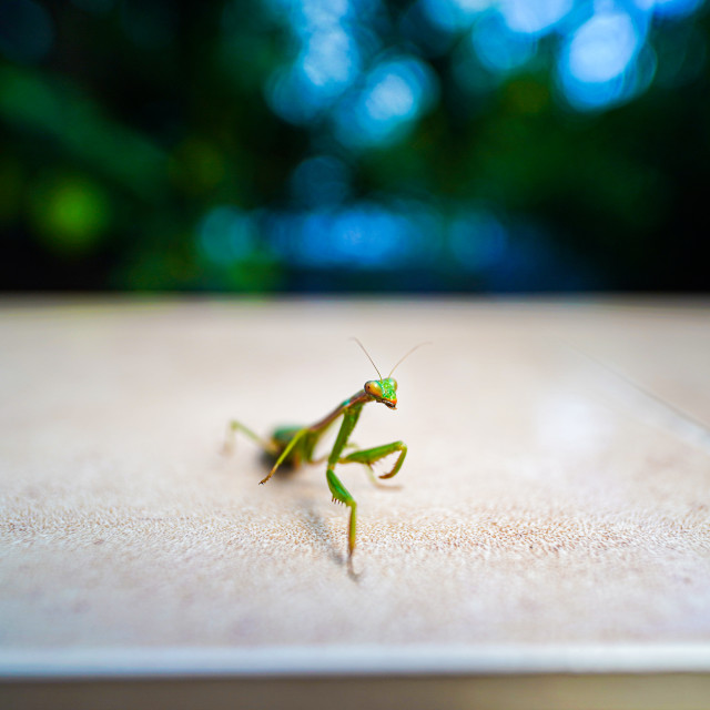 """European Mantis"" stock image"