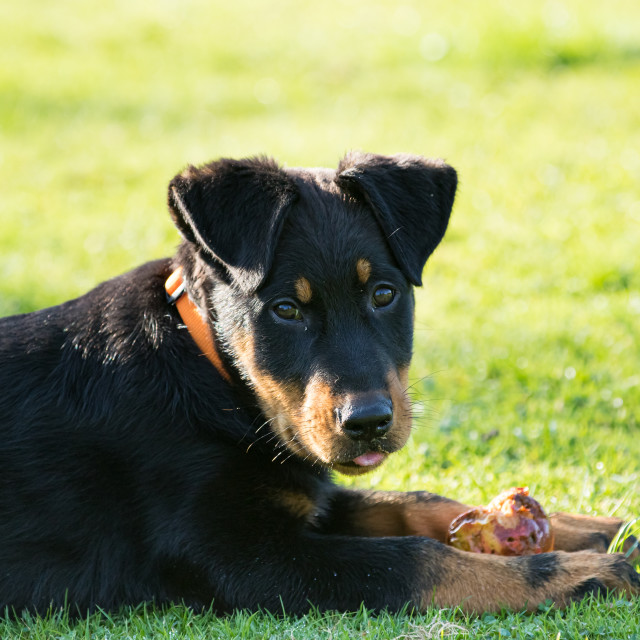"""adorable young Beauce shepherd dog lying in the green grass and eating an apple"" stock image"