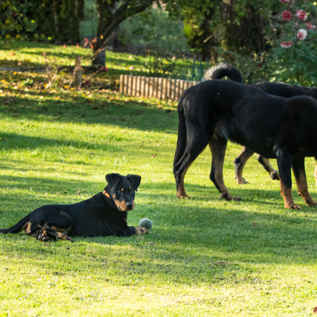 """adorable young Beauce shepherd dog playing with two large adults in a green..."" stock image"