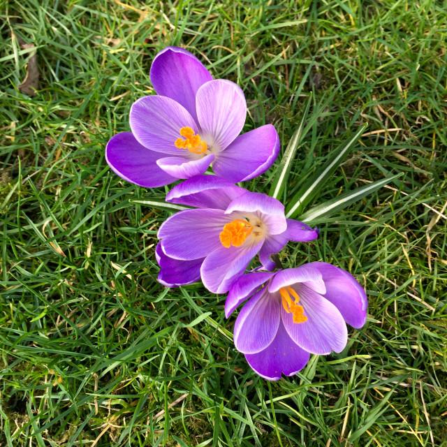 """Purple crocuses in grass"" stock image"