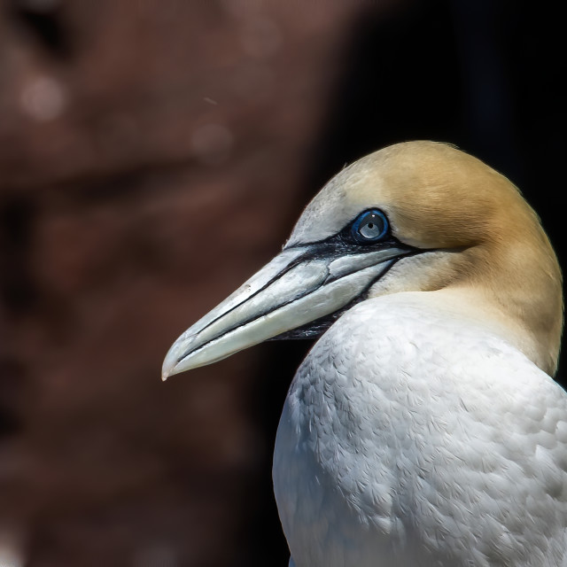 """Gannets of the Bass"" stock image"