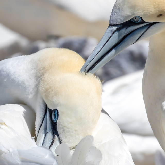 """Gannets of the Bass rock in love"" stock image"