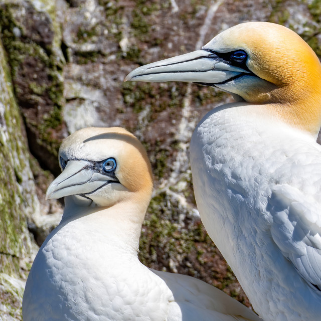 """Gannets of the Bass rock pair"" stock image"