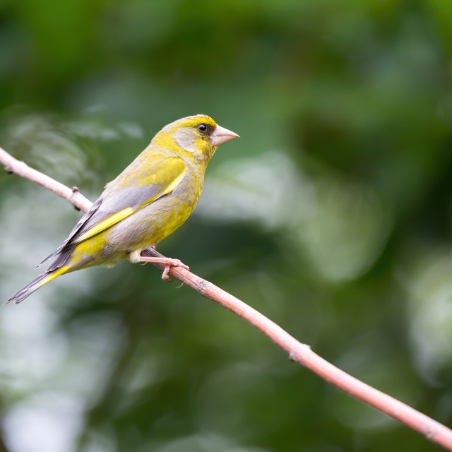 """Lovely Greenfinch"" stock image"