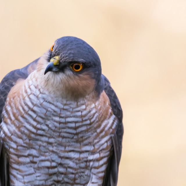"""Sparrow Hawk waiting and watching"" stock image"